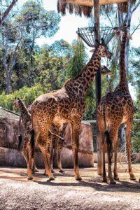 girrafe-san-diego-zoo