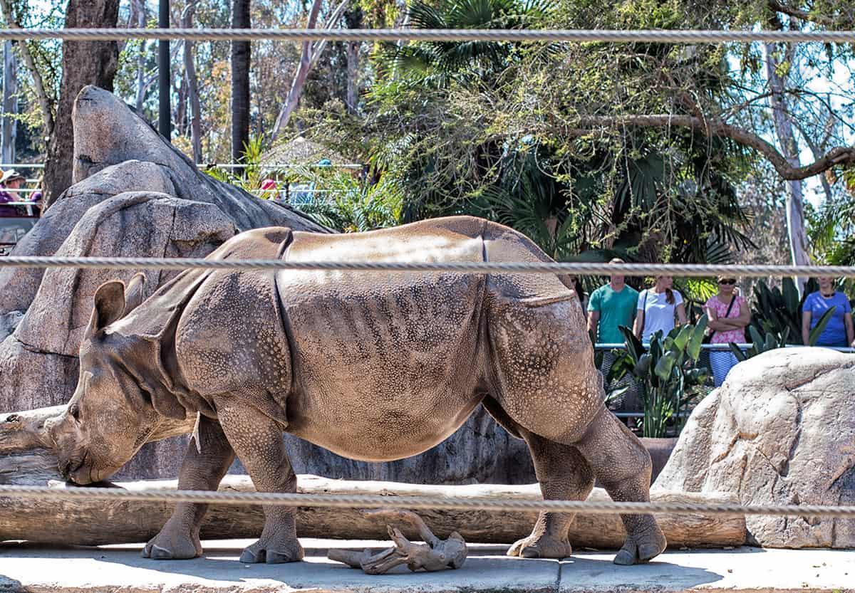hippo-san-diego-zoo