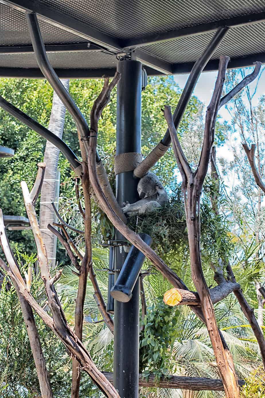 koala-san-diego-zoo