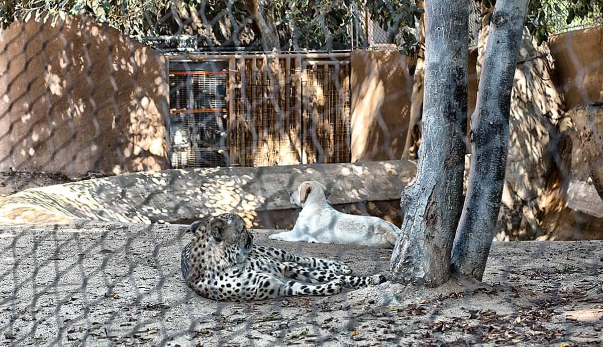 tiger-san-diego-zoo