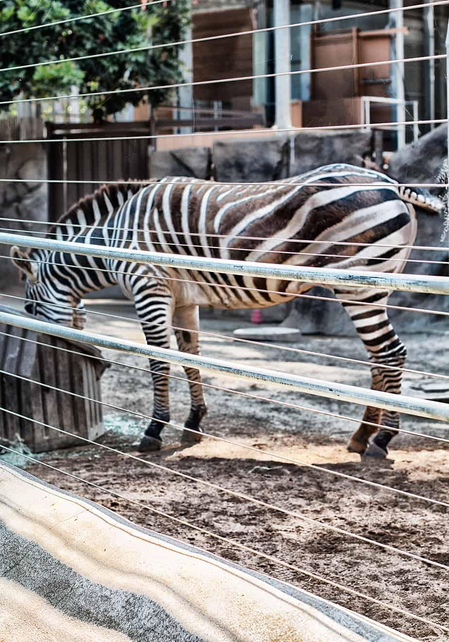 zebra-san-diego-zoo